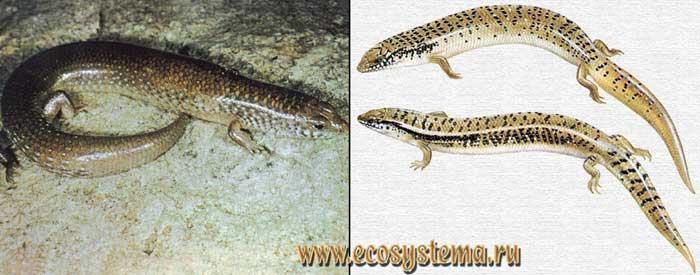 Глазчатый халцид - Chalcides ocellatus