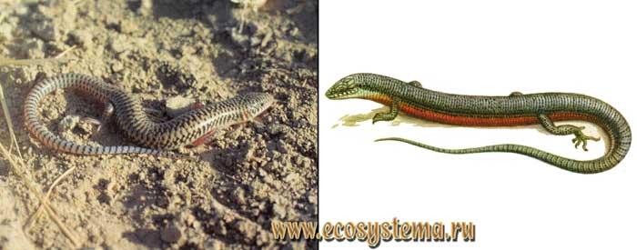 Щитковый сцинк - Eumeces taeniolatus