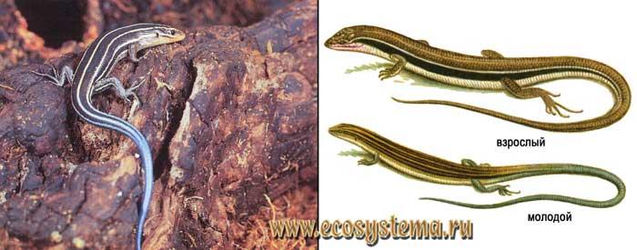 Дальневосточный сцинк - Eumeces latiscutatus