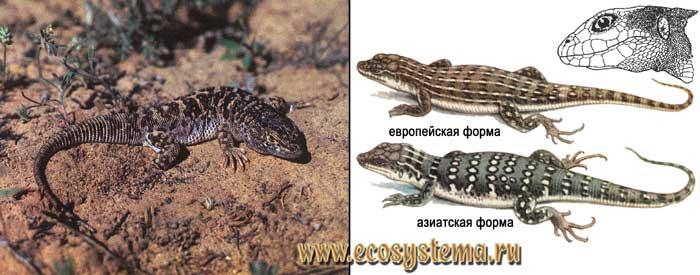 Разноцветная ящурка - Eremias arguta