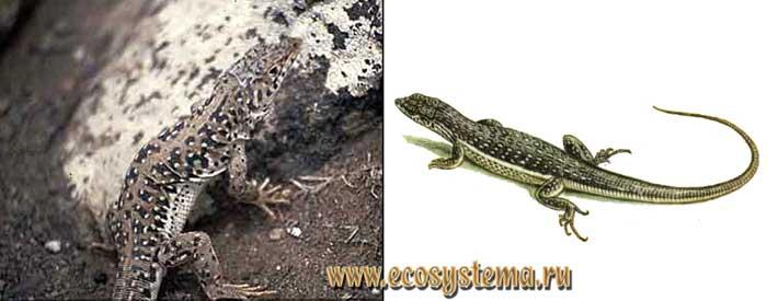 Средняя ящурка - Eremias intermedia