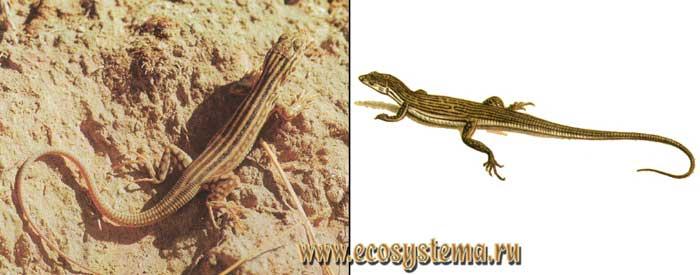 Песчаная, или полосатая, ящурка - Eremias scripta