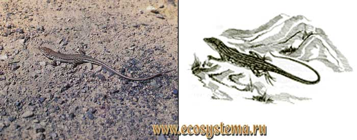 Центральноазиатская ящурка - Eremias vermiculata