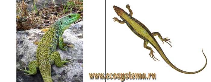 Зеленобрюхая ящерица - Lacerta chlorogaster