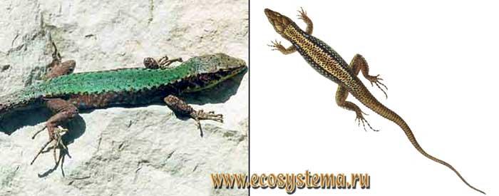Турецкая ящерица - Lacerta clarcorum