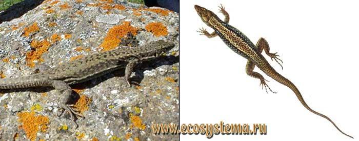 Чарнальская ящерица - Lacerta dryada