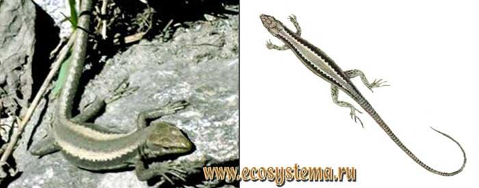 Дагестанская ящерица - Lacerta daghestanica