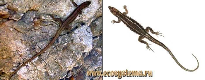 Краснобрюхая ящерица - Lacerta parvula