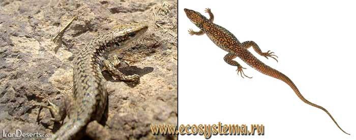 Азербайджанская ящерица - Lacerta raddei