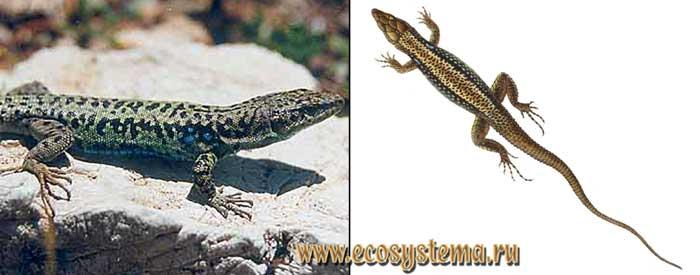 Грузинская ящерица - Lacerta rudis