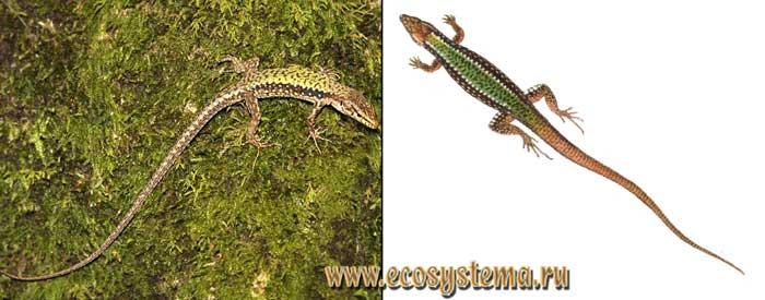 Скальная ящерица - Lacerta saxicola