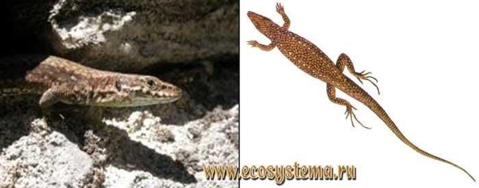 Белобрюхая ящерица - Lacerta unisexualis