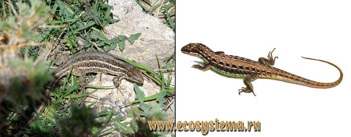 Малоазиатская ящерица - Lacerta parva