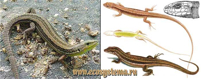 Луговая ящерица - Lacerta praticola