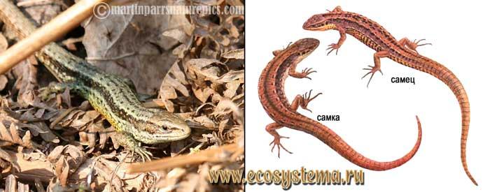 Живородящая ящерица - Lacerta vivipara