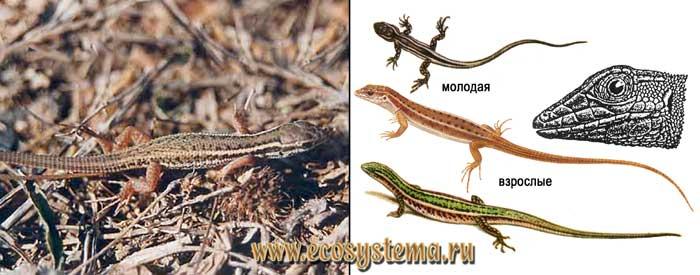 Стройная змееголовка - Ophisops elegans