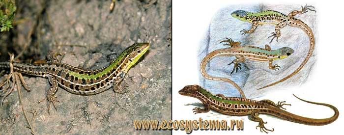 Крымская ящерица - Podarcis taurica