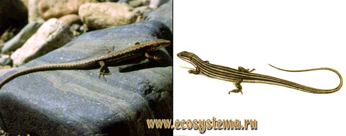 Корейская долгохвостка - Tachydromus wolteri
