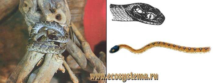 Индийская бойга - Boiga trigonatum
