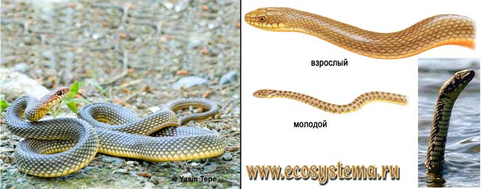Желтобрюхий (каспийский) полоз - Coluber caspius