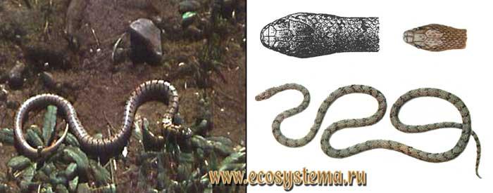 Полосатый эйренис - Eirenis medus
