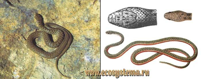 Армянский эйренис - Eirenis punctatolineatus