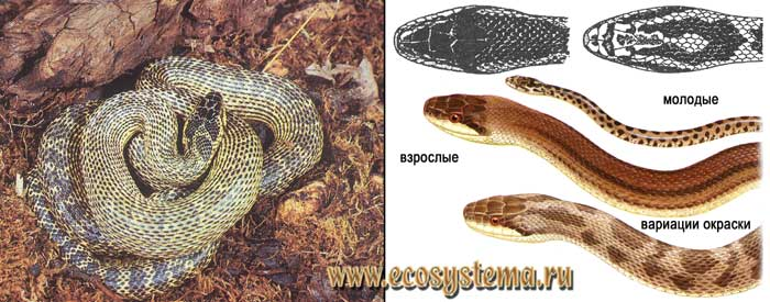 Четырехполосый полоз - Elaphe quatuorlineata