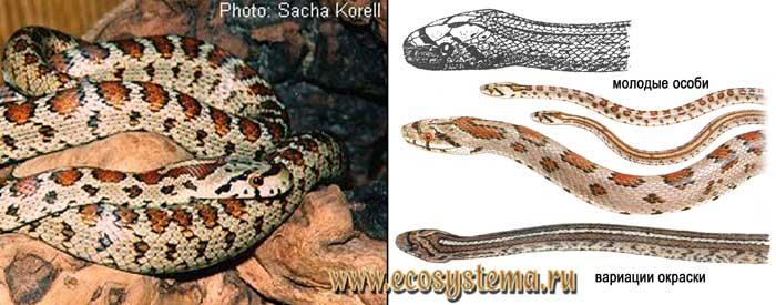 Леопардовый полоз - Elaphe situla