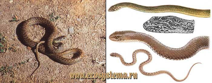 Ящеричная змея - Malpolon monspessulanus