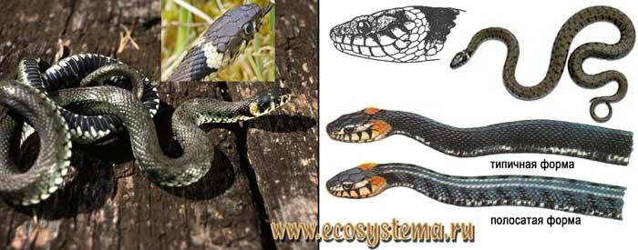 Обыкновенный уж - Natrix natrix