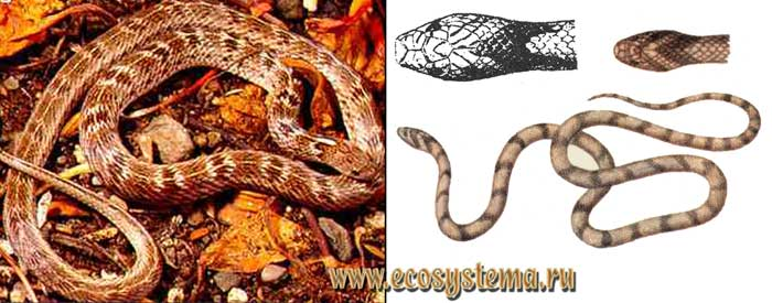 Изменчивый олигодон - Oligodon taeniolatus