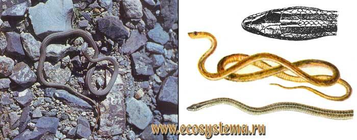 Стрела-змея - Psammophis lineolatus