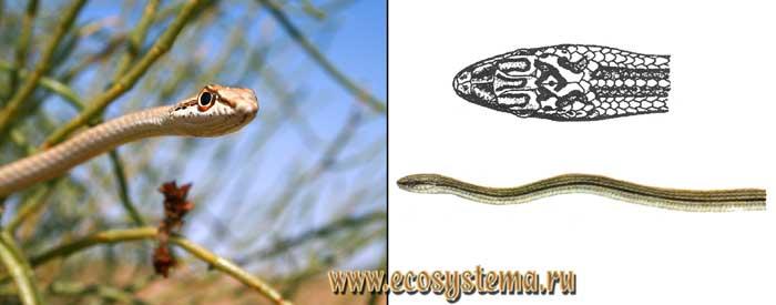 Песочная змея, или зериг - Psammophis schokari