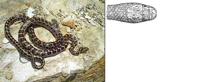 Персидский псевдоциклофис - Pseudocyclophis persicus