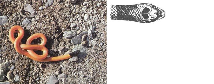 Черноголовый ринхокаламус - Rhynchocalamus melanocephalus