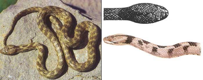 Кошачья змея - Telescopus fallax