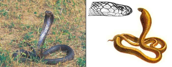 Среднеазиатская кобра - Naja oxiana