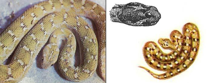 Среднеазиатская эфа - Echis multisquamatus