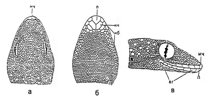 Чешуйчатый покров средиземноморского геккона