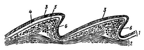 Продольный разрез кожи ящерицы