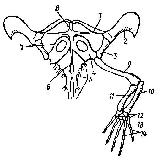 конечность ящерицы Lacerta