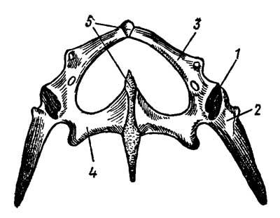 Тазовый пояс ящерицы Lacerta