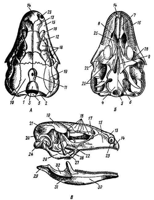 Череп ящерицы Lacerta (по