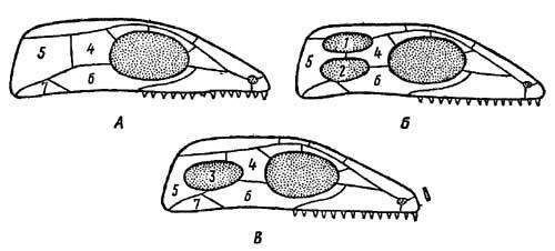 Схема эволюционных преобразований стегального черепа у пресмыкающихся