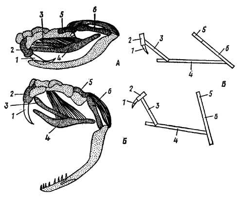 Челюстной аппарат гремучей змеи