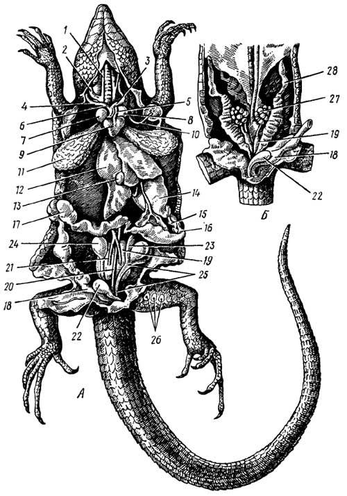 Внутренние органы ящерицы