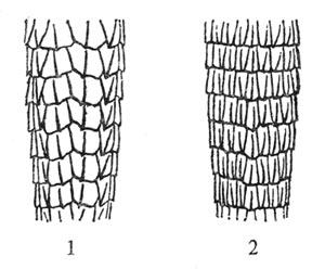 Верхнехвостовая чешуя: 1 — линейчатой ящурки, Eremias lineolata; 2 — полосатой ящурки, Eremias scripta