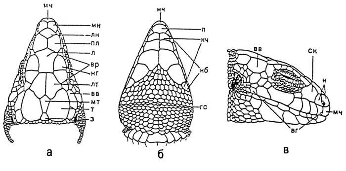 Чешуйчатый покров прыткой ящерицы