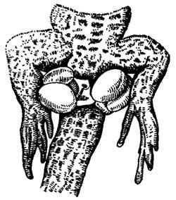 Выпяченные копулятивные мешки самца ящерицы