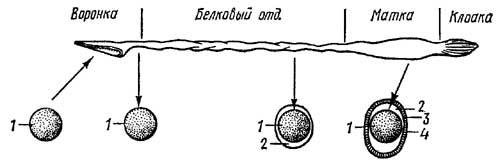 Схема развития яйцевых оболочек у среднеазиатской черепахи при прохождении яйца по яйцеводу